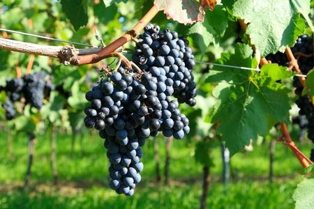 Trauben-Cluster auf einem Weingut Zweig h�ngen