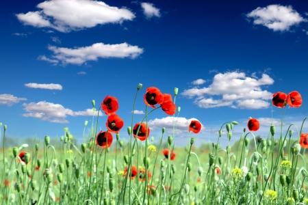 stark: Rote Mohnblumen auf Fr�hlingswiese und stark polarisierten blauen Himmel.