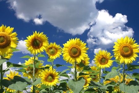 Sunflowers group on blue Sky photo