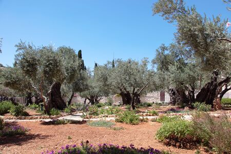 Olive grove where under the legend Jesus has been betrayed photo