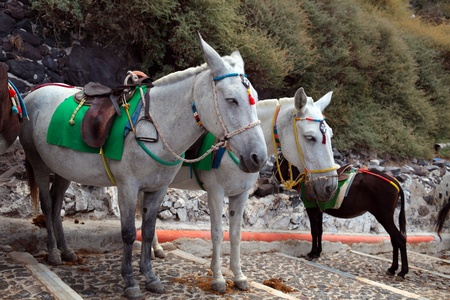 Touristic donkeys in the island of Santorini photo