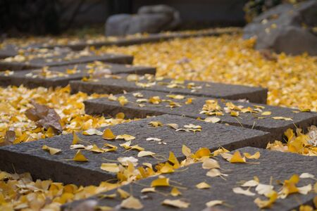 stepping: Stepping stone and ginkgo Stock Photo
