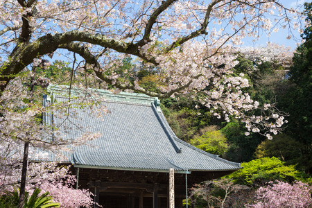 buddhist temple roof: Myohon-ji Temple and cherry tree