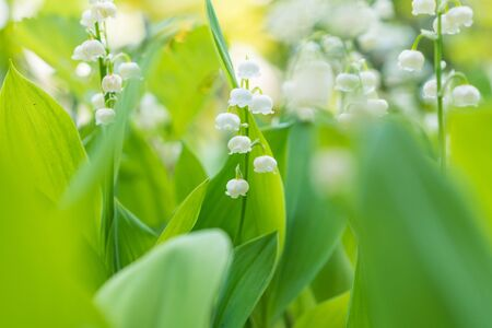 lily flowers: Lily of the valley flowers Stock Photo
