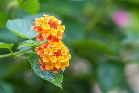 lantana: Flower of the lantana