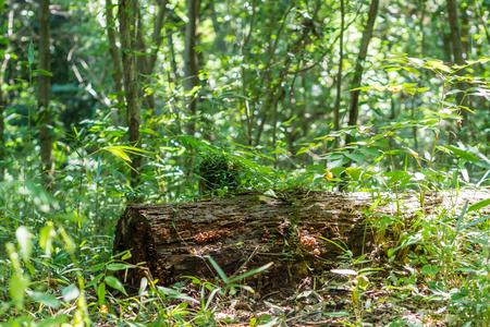 toter baum: Toter Baum von Hachikokuyama gr�nen Park Lizenzfreie Bilder