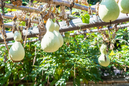 gourds: Growing Gourds Stock Photo