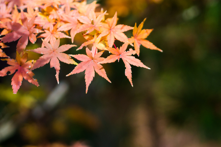 japanese maples: The maple which changes color Stock Photo