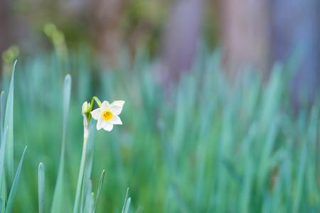 var: Narcissus tazetta var. chinensis