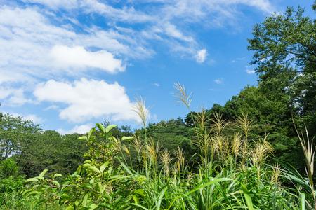 pampas: Japanese pampas grass of the water garden