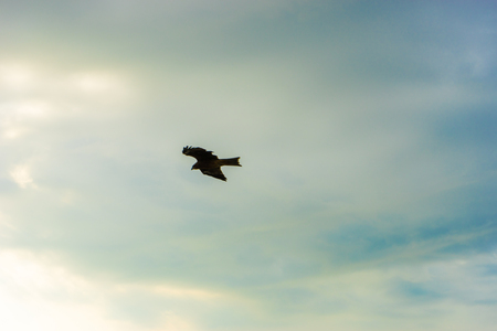black kite: Frying Black kite