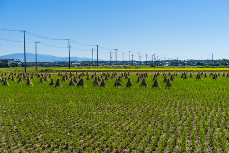 heaping: Heaping up straw, Japan