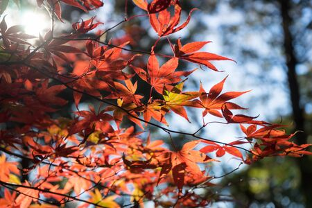 japanese maples: Colored maple leaves Stock Photo