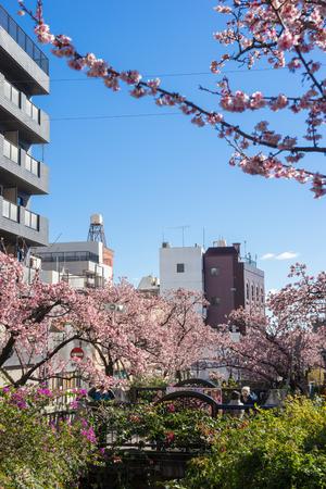 early blossoms: Atami Sakura  Early Cherry Blossoms