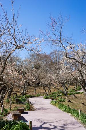 japanese apricot flower: Shuzenji Baien  Shuzenji plum garden