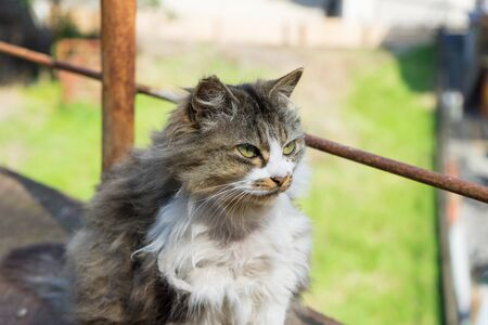 wild cat: Wild cat which has a long hair Stock Photo