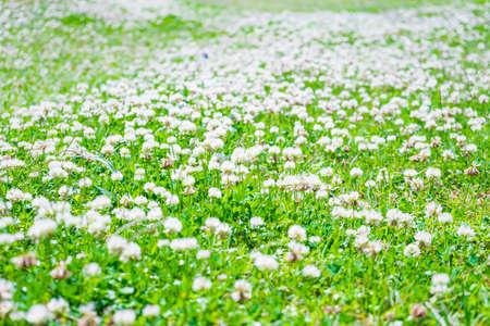 dutch clover: White clover flowers