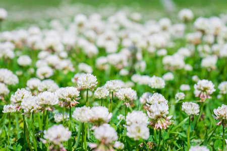 White clover flowers