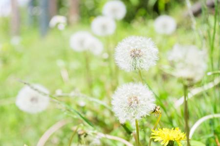 cotton wool: Cotton wool of the dandelion