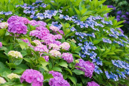 odawara: Hydrangea of Odawara Castle Park