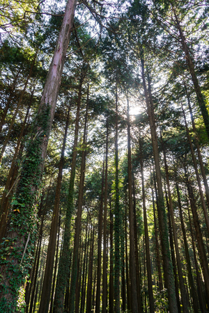 hinoki: Chichibunomiya Memorial Park Hinoki Forest Stock Photo