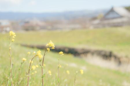 Brassica juncea on the bank