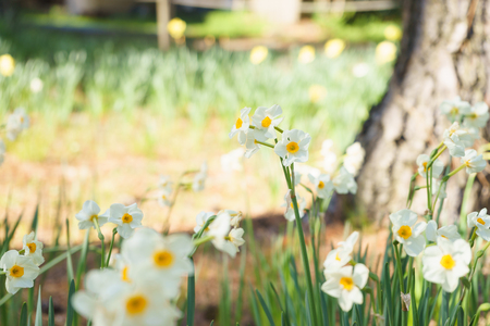 sardine: Daffodil flowers