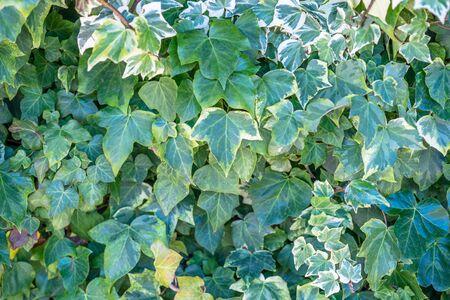 Ivy leaf on the wall