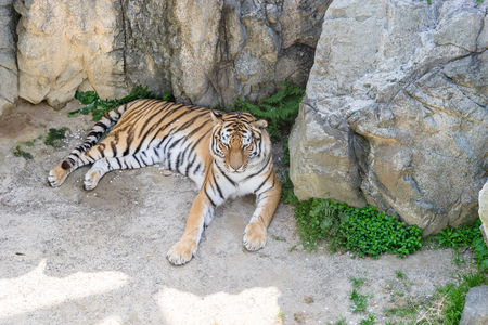 Lounging Amur tiger Stock Photo