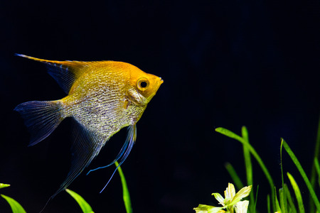 Angelfish in aquarium rearing