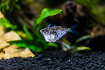 Silver Hatchetfish in aquarium rearing