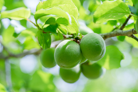 Young plum fruit