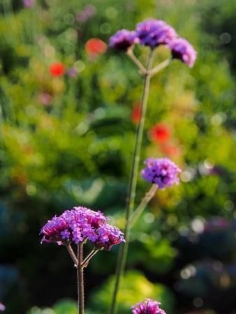 sidelight: Verbena flowers under a sidelight scene