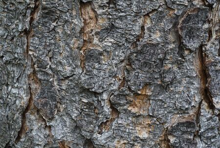 barque: Background Of Old Wooden Tree Bark