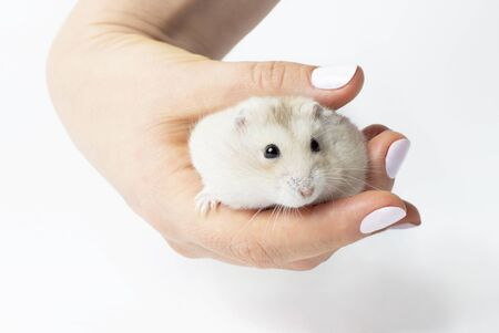 Female hand holds a small fluffy hamster close-up on a white background. Reklamní fotografie
