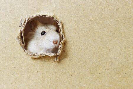 Il piccolo criceto guarda attraverso un foro rotondo in una scatola di cartone