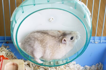 Dwarf furry hamster lies in a plastic wheel, side view
