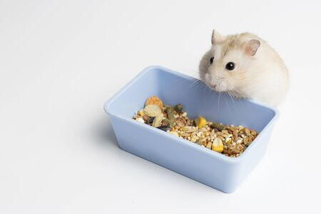 Dwarf furry hamster eats food next to feeding trough isolated on a white background