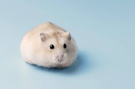 Dwarf furry hamster lies on blue background close up, copy space Stockfoto