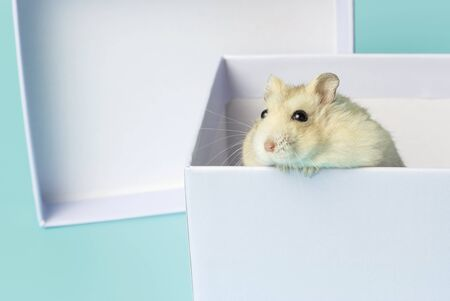 Dwarf fluffy hamster in a gift box on a blue background Stockfoto