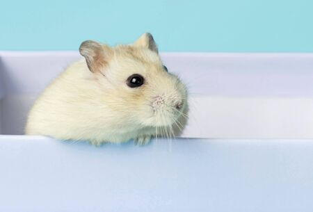 Dwarf fluffy hamster in a gift box on a blue background