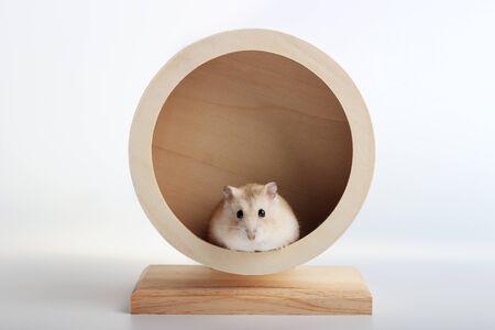 Il criceto nano divertente si siede in una ruota di legno da vicino, sfondo bianco Archivio Fotografico