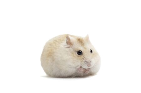Dwarf fluffy hamster isolated on white background, a front view Stockfoto