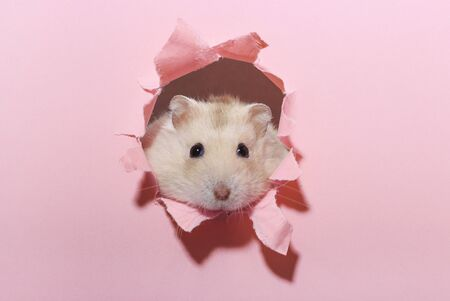 Little fluffy hamster looks through a pink torn paper close up.
