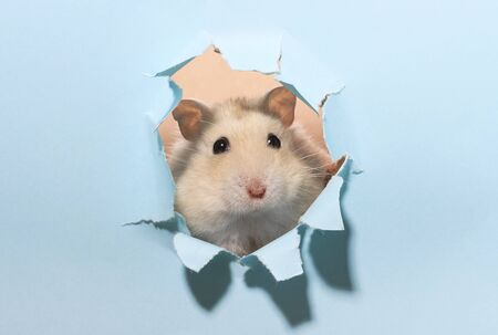 Little fluffy hamster looks through a blue torn paper close up. Stockfoto