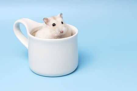 Funny little hamster sitting in a white mug on a blue background, copy space.