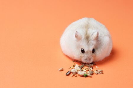 Dwarf hamster eating seeds and oats on an orange background, copy space