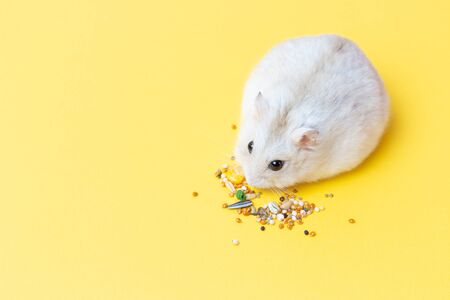 Little fluffy hamster eats food on a yellow background, view from above