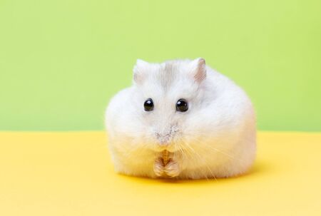 Dwarf hamster on a yellow and green background close up