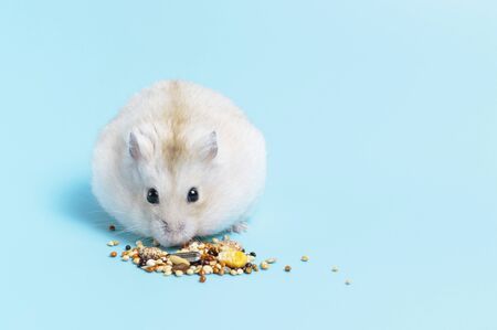 Little fluffy hamster eats food on a blue background, front view